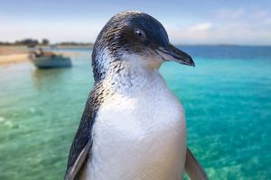 Full-Day Penguin Island  Fremantle Town - Find Attractions